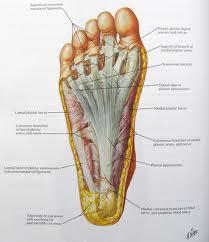 Plantar Fascia of the foot
